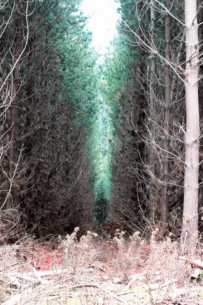 Old Pine Plantation